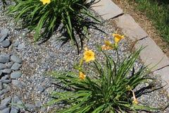 gele jonquillenarcissen stock afbeelding