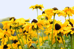 Gele kamillebloemen tegen hemel Royalty-vrije Stock Afbeeldingen