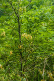 Gele Kamperfoelie en Groene bladeren Stock Afbeeldingen