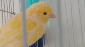 Gele kanarievogel Stock Fotografie