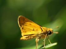 Gele kapiteinsvlinder Royalty-vrije Stock Afbeeldingen