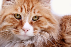 Gele kat. Royalty-vrije Stock Afbeeldingen