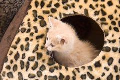 Gele kat die binnenshuis verbergt royalty-vrije stock foto