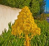 Gele kegelbloem van Boom Houseleek stock foto