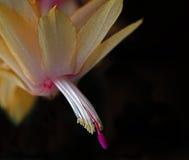 Gele Kerstmiscactus Royalty-vrije Stock Afbeeldingen