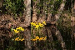 Gele kingcupbloemen die bij meerkust groeien royalty-vrije stock foto's