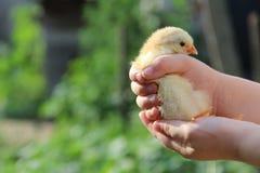 Gele kip in kinderen` s handen Het nieuwe leven Kleine vogel Royalty-vrije Stock Foto