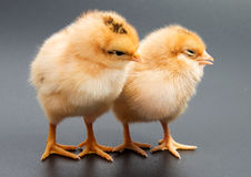 Gele kippen die één zwarte bekijken Stock Fotografie