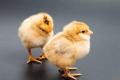 Gele kippen die één zwarte bekijken Royalty-vrije Stock Foto's