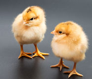 Gele kippen die één zwarte bekijken Royalty-vrije Stock Foto