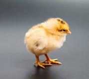 Gele kippen die één zwarte bekijken Stock Afbeeldingen