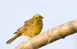 Gele kleine vogel op blauwe achtergrond Royalty-vrije Stock Foto's
