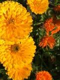 Gele knallende bloemen stock foto's