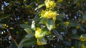 Gele knoppen op stekelige bladeren en weerhaken stock foto