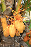 Gele kokosnoten Stock Foto's