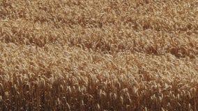 Gele korrel klaar voor oogst stock videobeelden