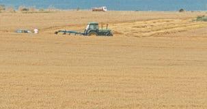 Gele korrel klaar voor oogst stock video