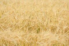 Gele korrel klaar voor oogst Royalty-vrije Stock Afbeeldingen