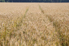 Gele korrel klaar voor oogst Royalty-vrije Stock Afbeelding