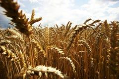 Gele korrel klaar voor oogst het groeien op een landbouwbedrijfgebied Royalty-vrije Stock Foto's