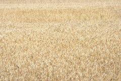 Gele korrel op een landbouwbedrijfgebied Stock Afbeelding