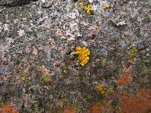 Gele korstmosvegetatie op de schorsclose-up van de asboom Stock Foto