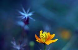 Gele kosmosbloem met droge bloem stock afbeeldingen