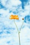 gele kosmosbloemen met witte en blauwe hemelachtergrond Stock Afbeelding