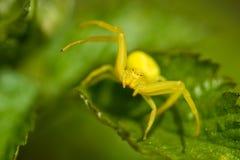 Gele krabspin Stock Foto's