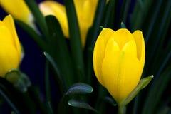 Gele krokus royalty-vrije stock foto's