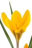 Gele krokus Royalty-vrije Stock Afbeeldingen