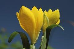Gele krokus in de vroege herfst tegen de blauwe hemel Royalty-vrije Stock Foto's