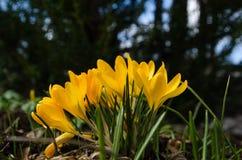 Gele krokusgroep Stock Afbeelding