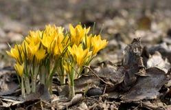 Gele krokussen Stock Foto's