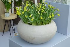 Gele krokussen in een pot Royalty-vrije Stock Afbeeldingen
