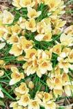 Gele krokussen in tuin De lenteachtergrond van krokussen Hoogste mening royalty-vrije stock fotografie