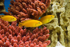 Gele Labidochromiscaeruleus Stock Foto's