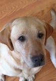 Gele Labrador Royalty-vrije Stock Foto's