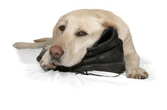 Gele Labrador en laars Stock Fotografie