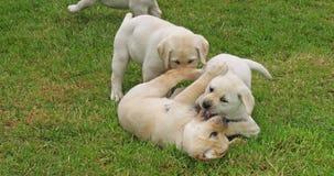 Gele Labrador, Groep die Puppy op het Gazon, Normandië in Frankrijk, Langzame Motie spelen stock video