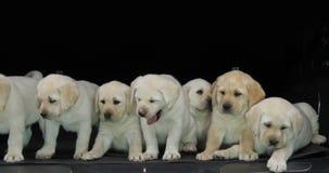 Gele Labrador, Puppy in de Boomstam van een Auto, Geeuw, Normandië in Frankrijk, Langzame Motie stock footage