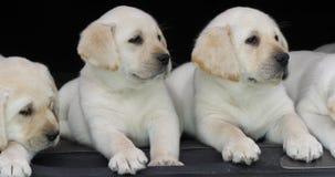 Gele Labrador, Puppy in de Boomstam van een Auto, Normandië in Frankrijk, Langzame Motie stock video
