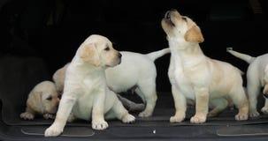 Gele Labrador, Puppy in de Boomstam van een Auto, Normandië in Frankrijk, Langzame Motie stock footage