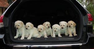 Gele Labrador, Puppy in de Boomstam van een Auto, Normandië in Frankrijk, Langzame Motie stock videobeelden