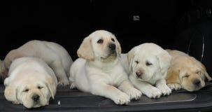 Gele Labrador, Puppy die in de Boomstam van een Auto, Normandië in Frankrijk, Langzame Motie slapen stock videobeelden