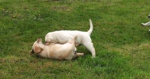 Gele Labrador, Puppy die op het Gazon, Normandië in Frankrijk, Langzame Motie spelen stock footage