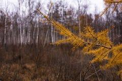 Gele larikstak bij de herfst Royalty-vrije Stock Afbeeldingen