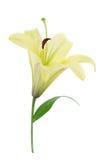 Gele Lelie (met het knippen van weg) Stock Afbeelding