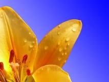 Gele lelie op een donkerblauwe achtergrond Stock Afbeeldingen