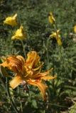 Gele leliebloem op de achtergrond van de open plek royalty-vrije stock foto's